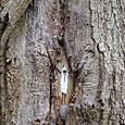 Zazou dans un chêne