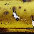 Zazous sur banane